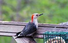 Woodpecker At Suet Feeder