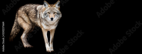Template of Coyote with a black background Fototapet