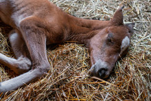 Baby Horse Sleeping On The Straw