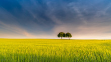 Two Trees In Yellow Field – ...