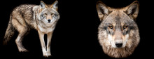 Template Of Coyote And Wolf With A Black Background