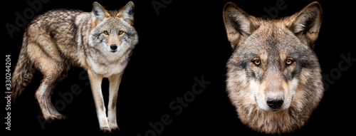 Fotografiet Template of Coyote and wolf with a black background
