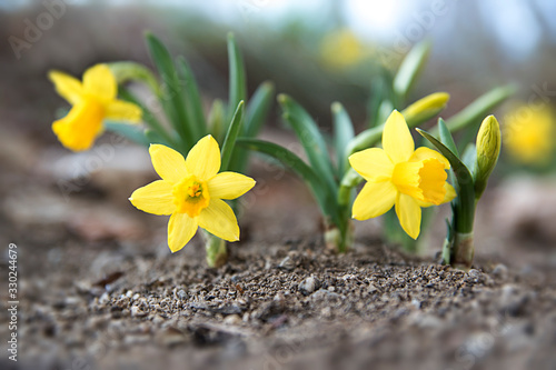Photographie Mini Daffodil Flowers In Spring