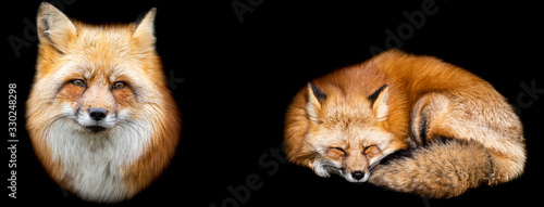 Template of Red fox with a black background Canvas Print