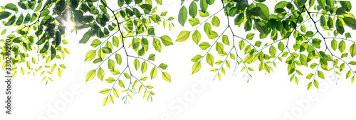Fotomural Twigs with beautiful green leaves isolated on a white background.
