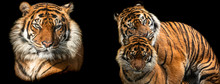 Template Of Tiger With A Black...