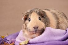 A Beige American Guinea Pig Si...