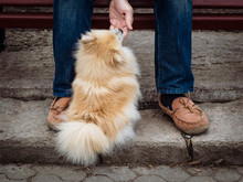 Young German Spitz At The Feet...
