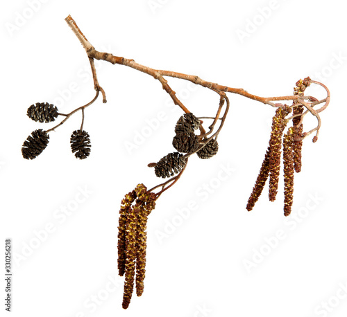 Dry alder tree branch with earrings and cones on an isolated white background Canvas Print