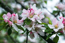 Blooming Apple Tree With Water...