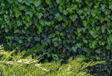 Green Ivy On The Wall. Hedge F...