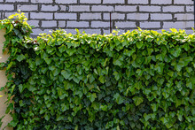 Green Ivy On Brick Wall. Fence...