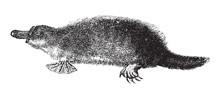 Platypus (Ornithorhynchus Anat...