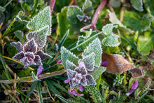 Deadnettle Covered With Frost...