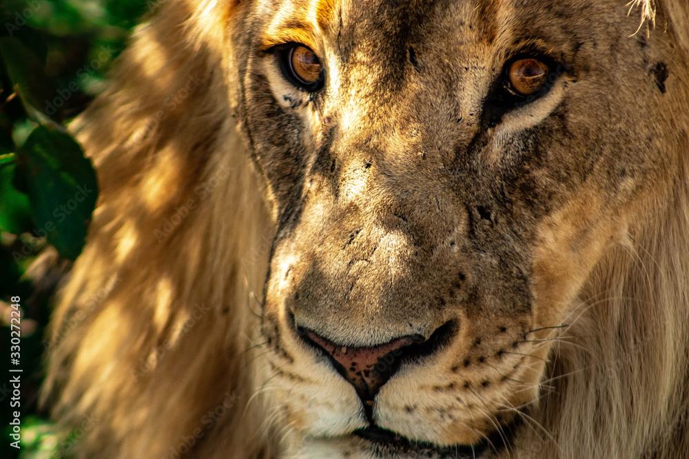 Fototapeta Face of a lion in africa