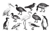 Water Bird Collection / Vintage Illustration From Brockhaus Konversations-Lexikon 1908