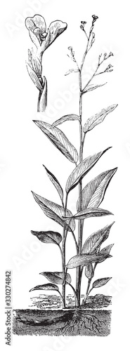 Maranta arundinacea / vintage illustration from Brockhaus Konversations-Lexikon Wallpaper Mural