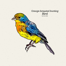 The Orange-breasted Bunting Is A Species Of Passerine Bird , Hand Draw Sketch Vector.