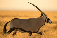 A Photograph Of A Walking Oryx...