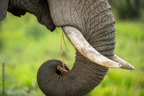 Obraz A detail close up of an eating elephant's face, trunk and mouth, taken at sunset in the Welgevonden Game reserve in South Africa. - fototapety do salonu