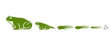 Stages Of Frogs Life Cycle. Ab...