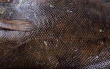 Rock Sole Background. Flounder...
