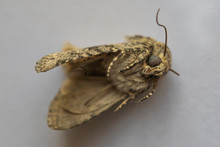 Dead Moth. Brown Insect. Unusu...