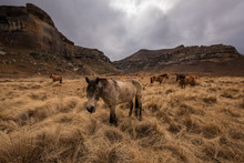 A Wide Angle Mountain Landscape Of Horses Grazing On Long Grass, Taken On A Stormy Overcast Day In The Golden Gate National Park, Clarens.