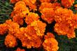 Leinwandbild Motiv Marigold flowers background