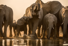 A Beautiful Golden Photograph Of A Family Herd Of Elephant Drinking At Sunset At A Water In The Madikwe Game Reserve, South Africa.