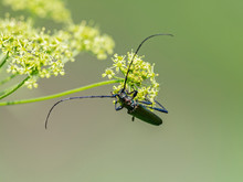 The Musk Beetle (Aromia Moschata) Is A Eurasian Species Of Longhorn Beetle Belonging To The Subfamily Cerambycinae