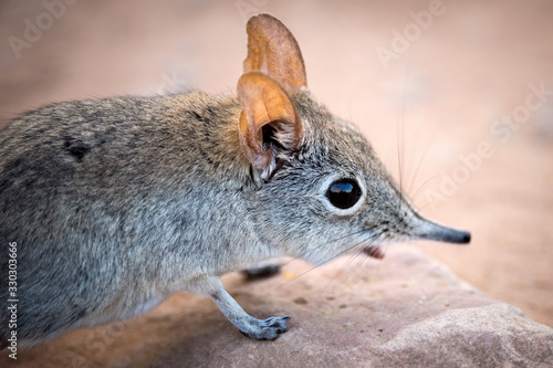 Fotografie, Obraz A cute close up portrait of a shy elephant shrew, taken at sunset in the Pafuri concession of the Kruger national Park, South Africa