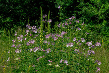 View Of Common Mallow Or Malva Sylvestris Blooming Bush With Beautiful Pink Flowers, Growing In A Forest. Summer Landscape.