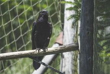 Black Crow Sitting On The Branch Of A Tree