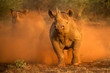 canvas print picture - An action photograph of two female black rhinos charging at the game vehicle, kicking up red dust at sunrise, taken in the Madikwe game Reserve, South Africa.