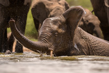 A Close Up Action Portrait Of A Swimming Elephant, Splashing, Playing And Drinking In A Waterhole At The Madikwe Game Reserve, South Africa.