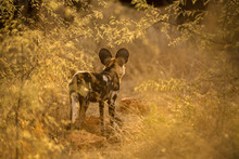 A Beautiful Sunset Photograph Of A Wild Dog Intently Staring Into The Bush, Framed By Golden Leaves, Taken At The Madikwe Game Reserve, South Africa.