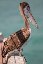 A Brown Pelican Rests On The E...