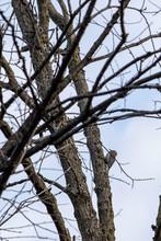 Red-Bellied Woodpecker (melanerpes Carolinus) 0165