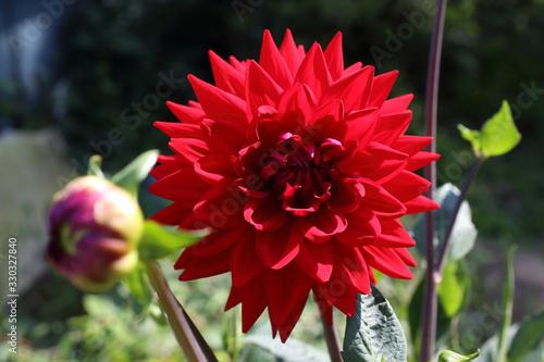 Photo Growing red dahlia flower in garden