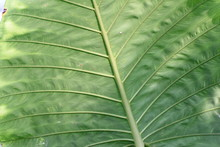Gigant Tropical Green Leaf.