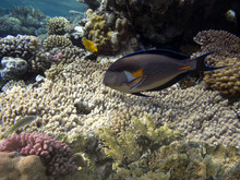 Colorful Coral Reef With Tropi...