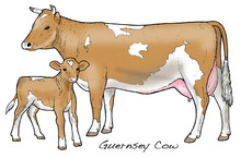 Guernsey Cow. This Famous Channel Island Breed Is Noted For Its Creamy Milk - Ideal For Butter Making.