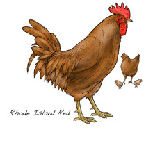 Rhode Island Red. This Popular Breed Was First Introduced Into Britain From North America In 1906.