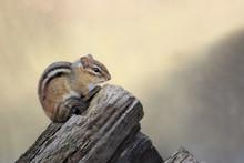 Chipmunk Sitting On A Log In N...