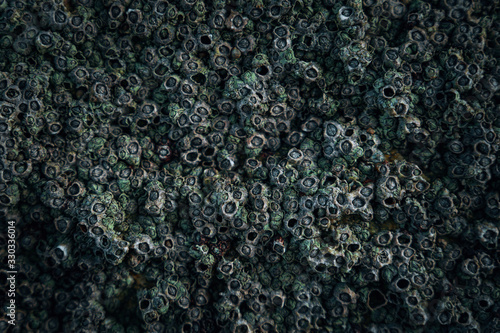 Close-up of barnacles on a wall Wallpaper Mural