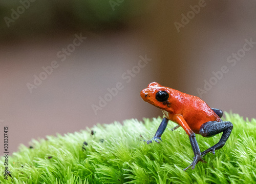 Photo Strawberry Poison Dart Frog