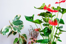 Anthurium Flowering Houseplant And Ficus Against White Wall. Home Gardening.