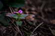 Eine Blume mit Purpurfarbenen Blüten und einem grünen Stiel am Waldboden zwischen Laub und Ästen
