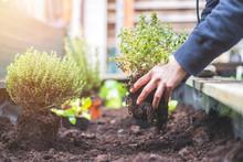 Urban Gardening: Woman Is Plan...